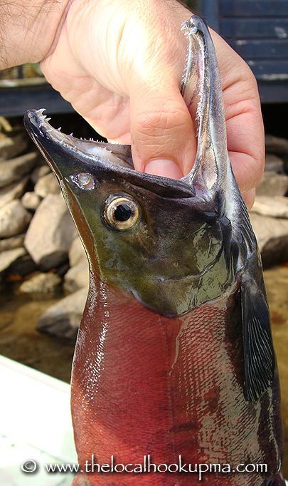 Kokanee Salmon (landlocked sockeye)