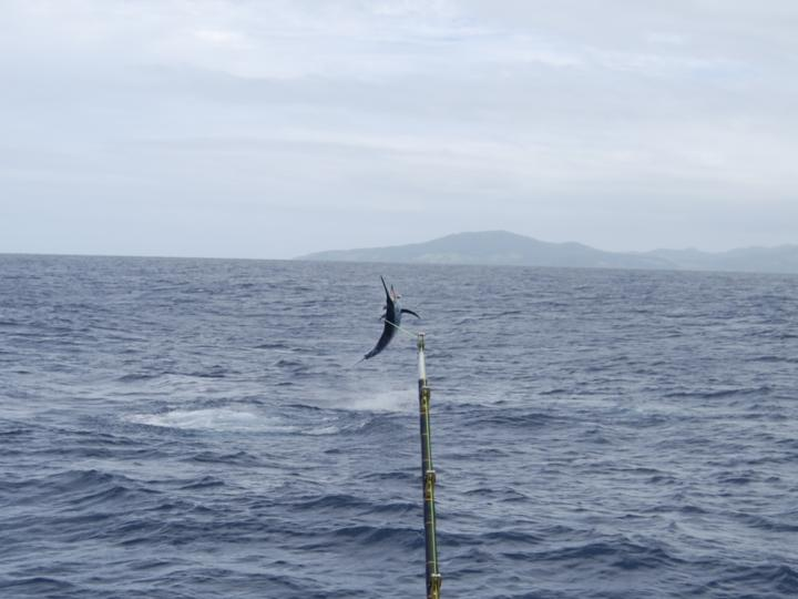 Black marlin jumping in Fiji