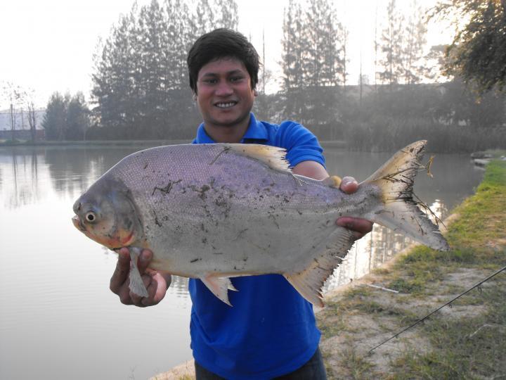 Pacu - Thailand Fishing Guide