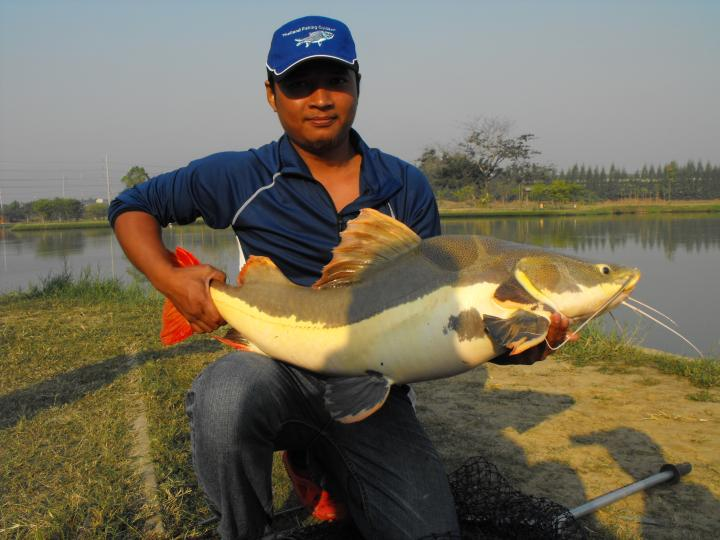 Redtail - Thailand Fishing Guide