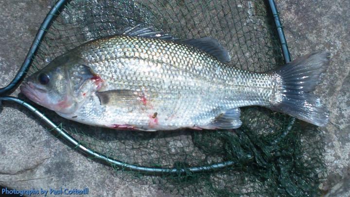 Bass,40cm