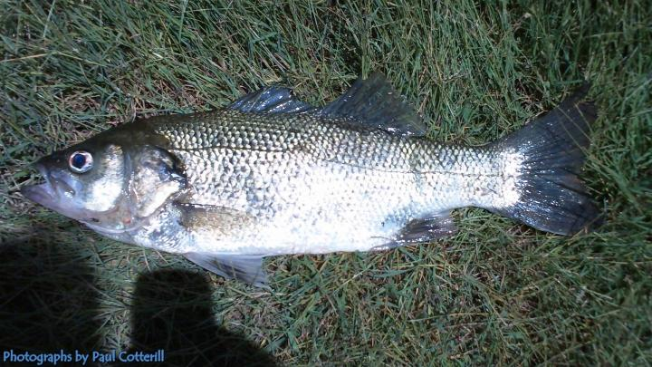 Bass,42cm