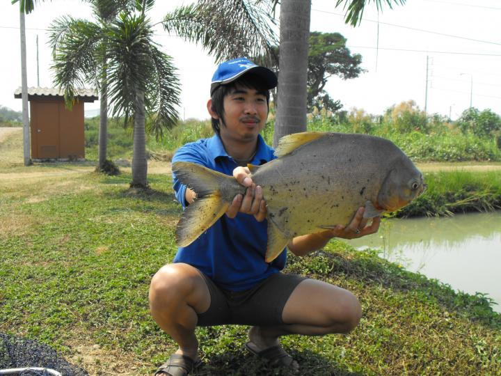 Pacu, IT Lake Monsters - Thailand Fishing Guide
