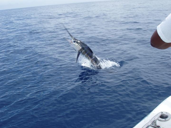 Stripped Marlin, Cabo Mexico