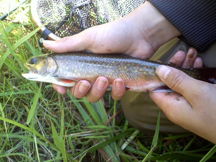 a ten inch brook trout