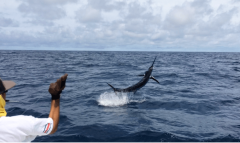 Need to Get Snared On a BIG Costa Rica Marlin?
