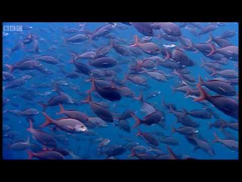 Thousands of sharks visit a sea mount - Blue Planet: A Natural